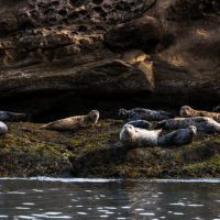 Seals-SnakeIsland-Anderson